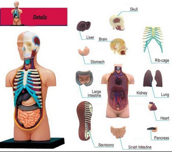 Gallery For gt Human Body Parts Kids Learning