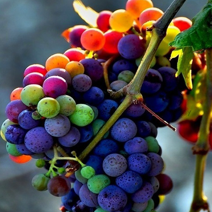 5 Packs 15 Seeds Pack Rainbow Grape Variety Color